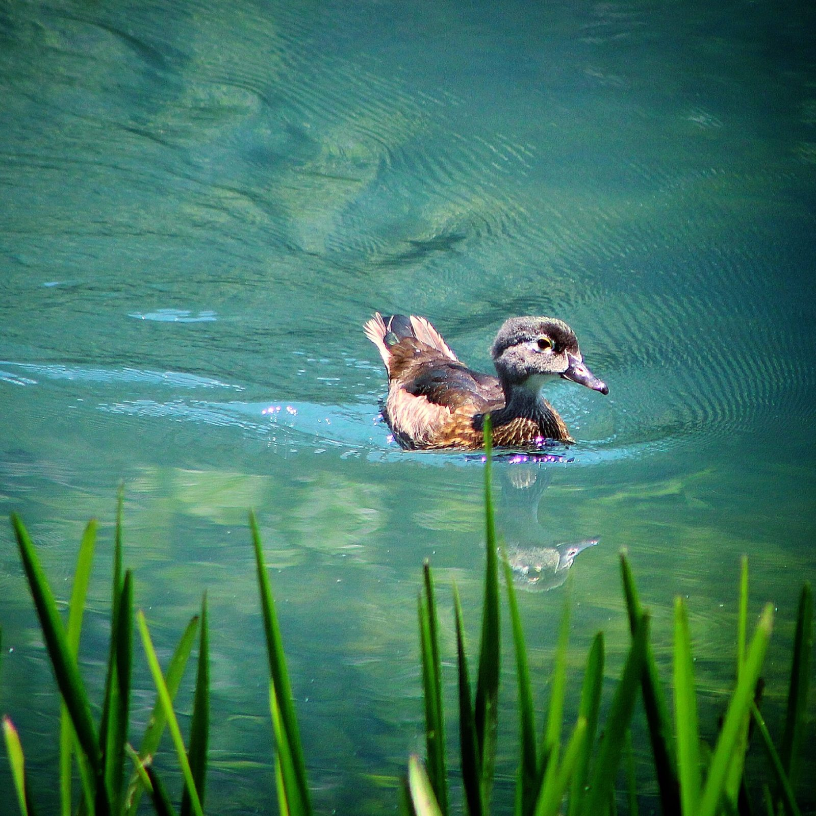 Care free duckling