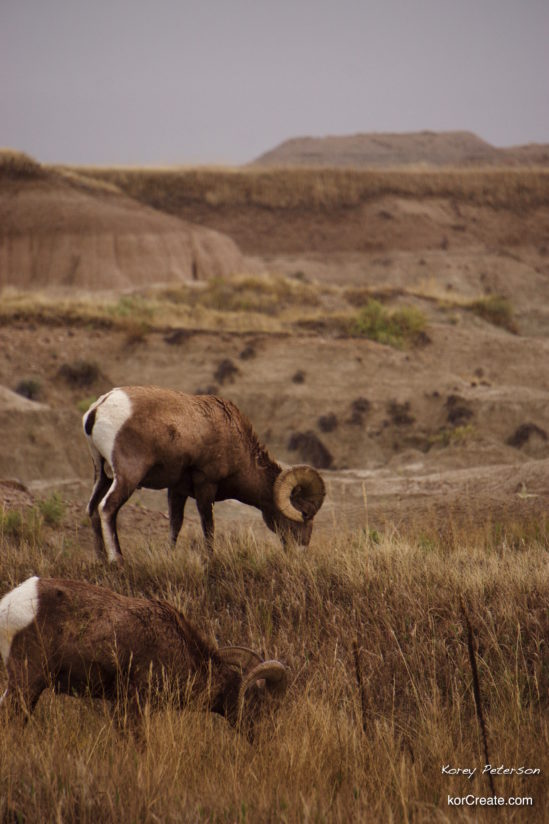 Bighorns in the Badlands