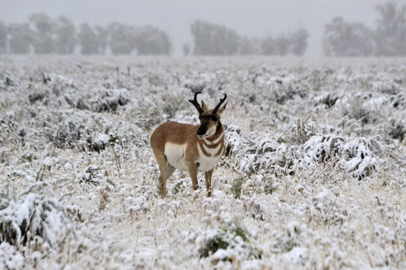 Pronghorn in early season snowstorm