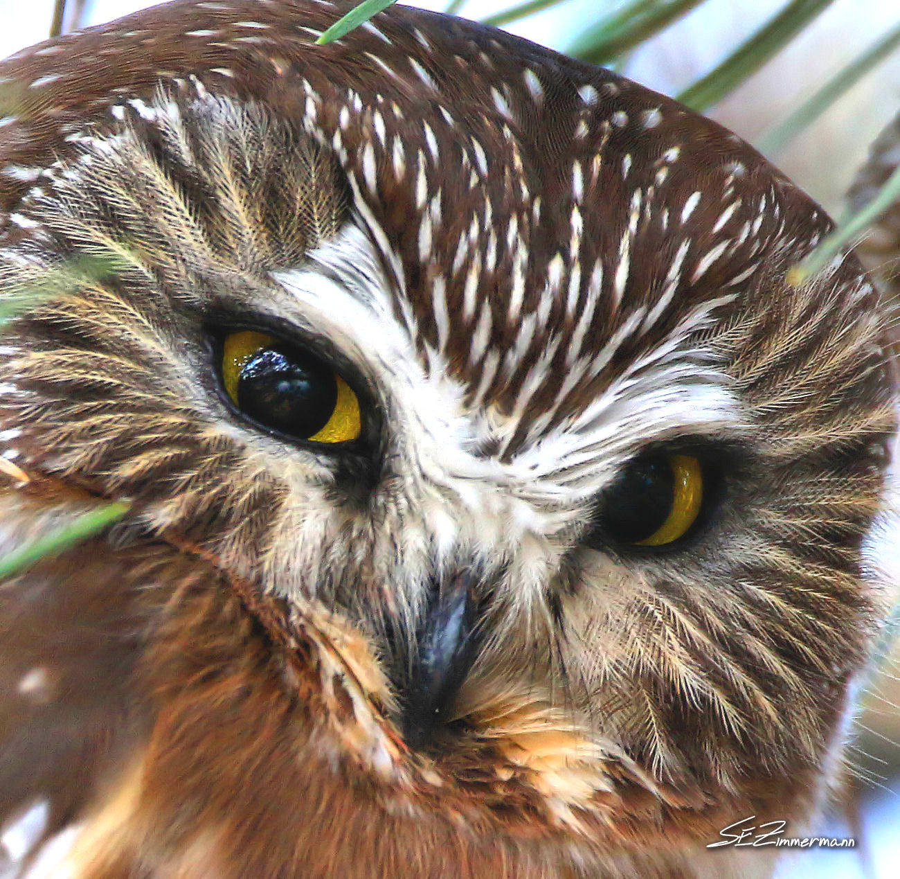 Saw-whet Owl Close-up