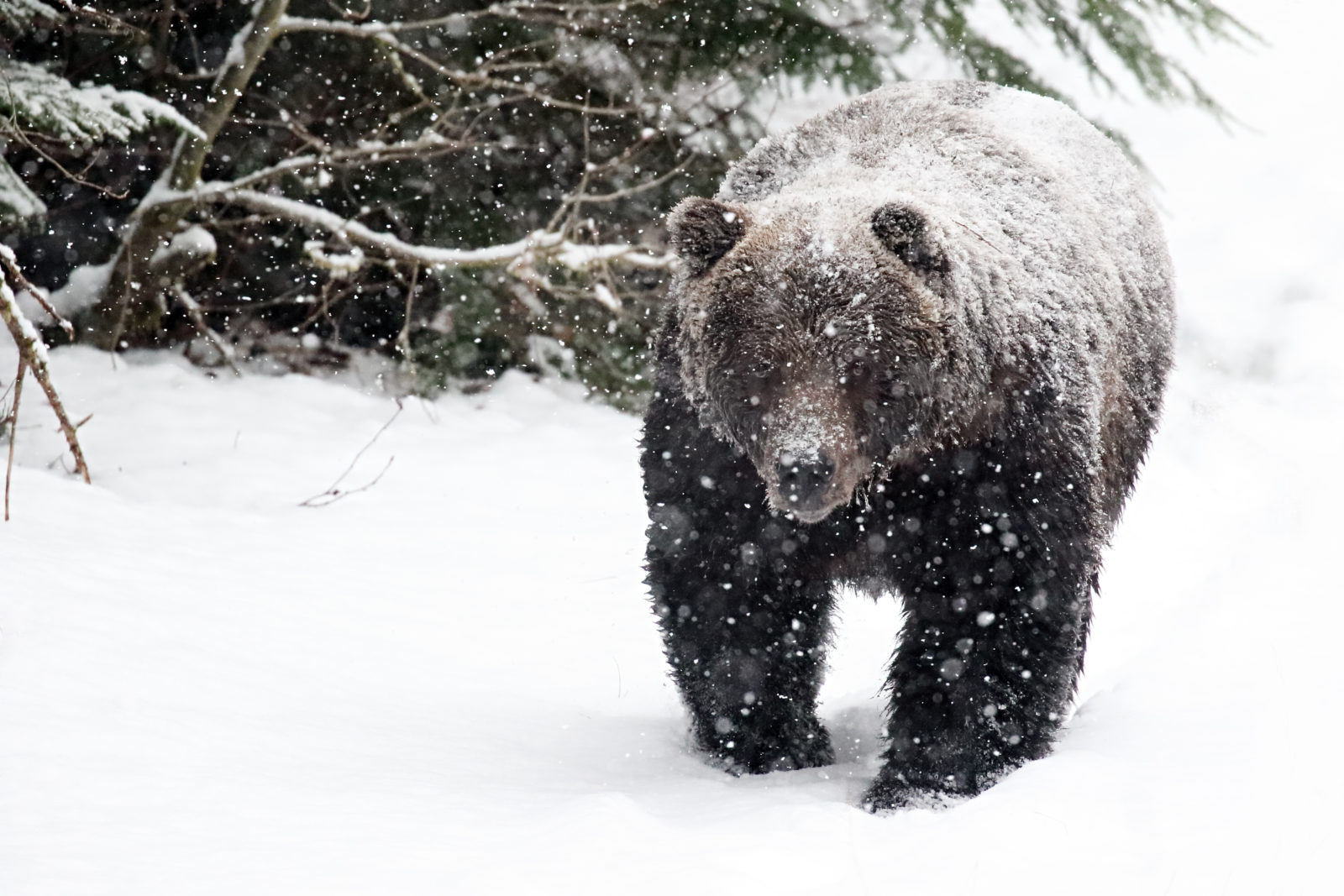 Brown bear in a blizzard