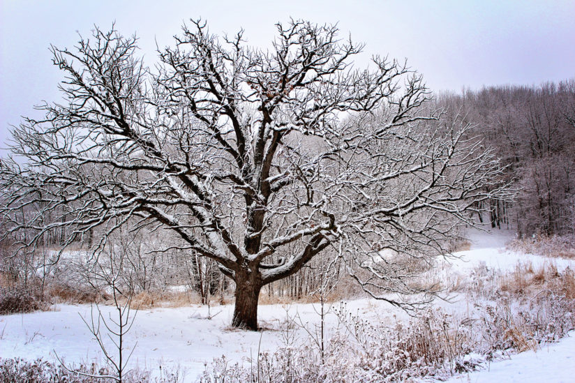 The spooky old tree covered in snow