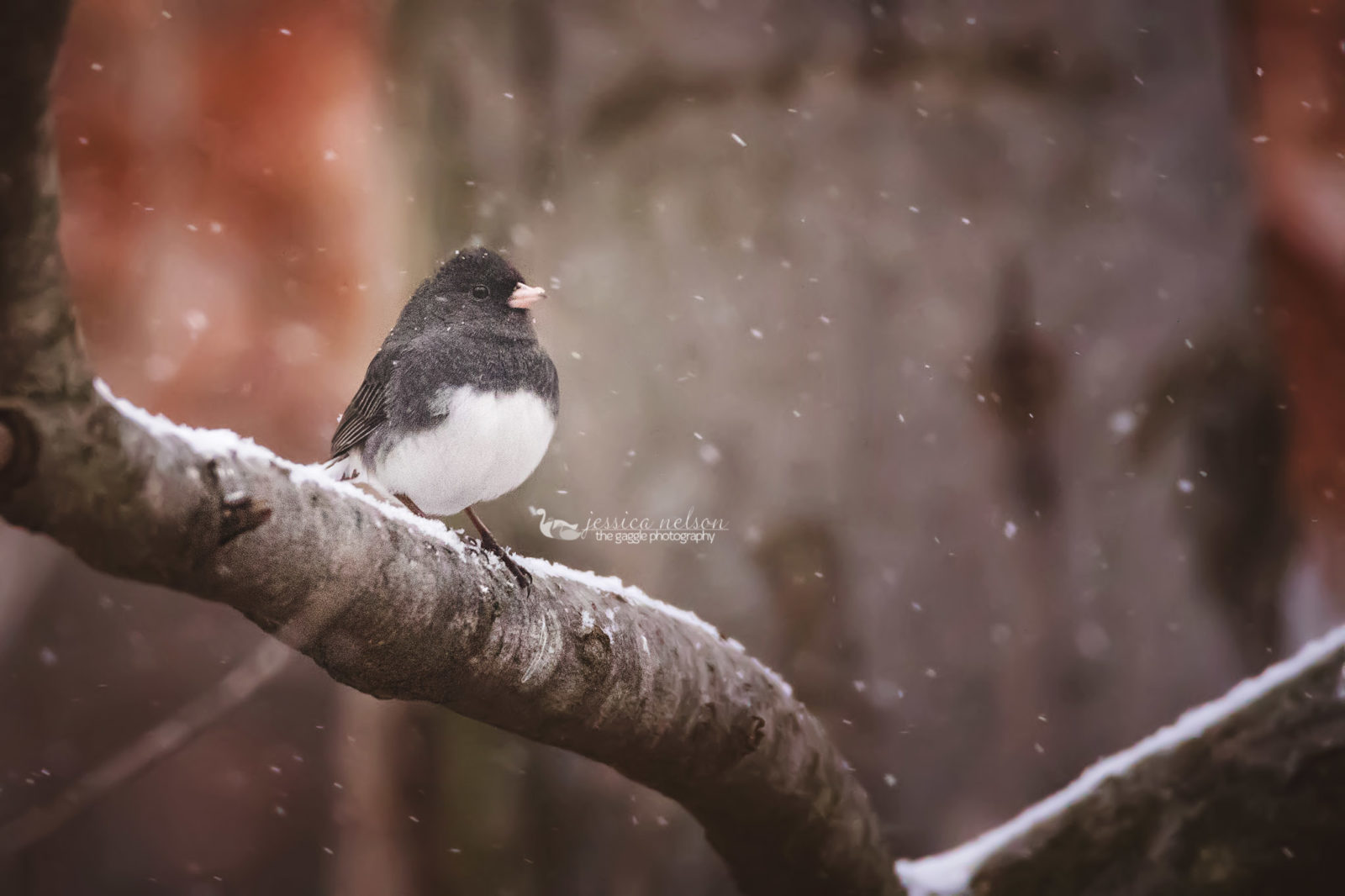 Junco and the Snowstorm