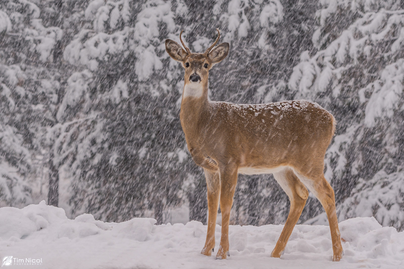 Young Buck in a Snowstorm