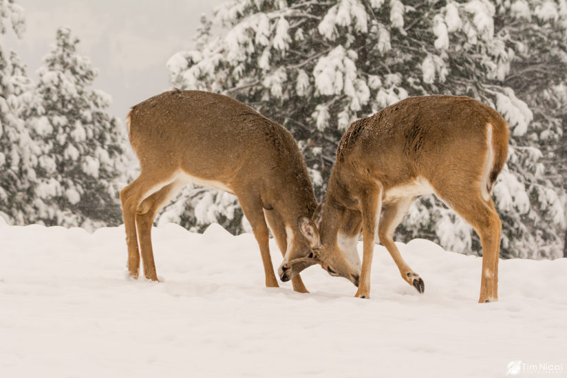 Young Bucks in the Snow