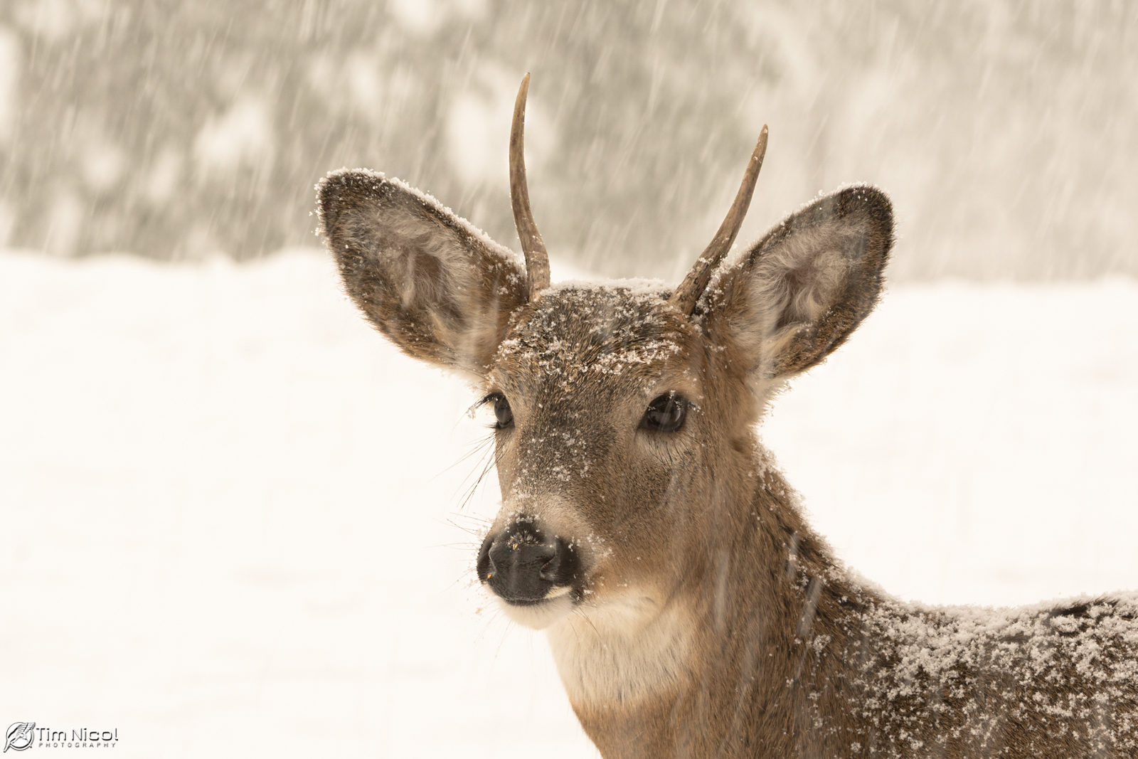 Young Buck in the Snow