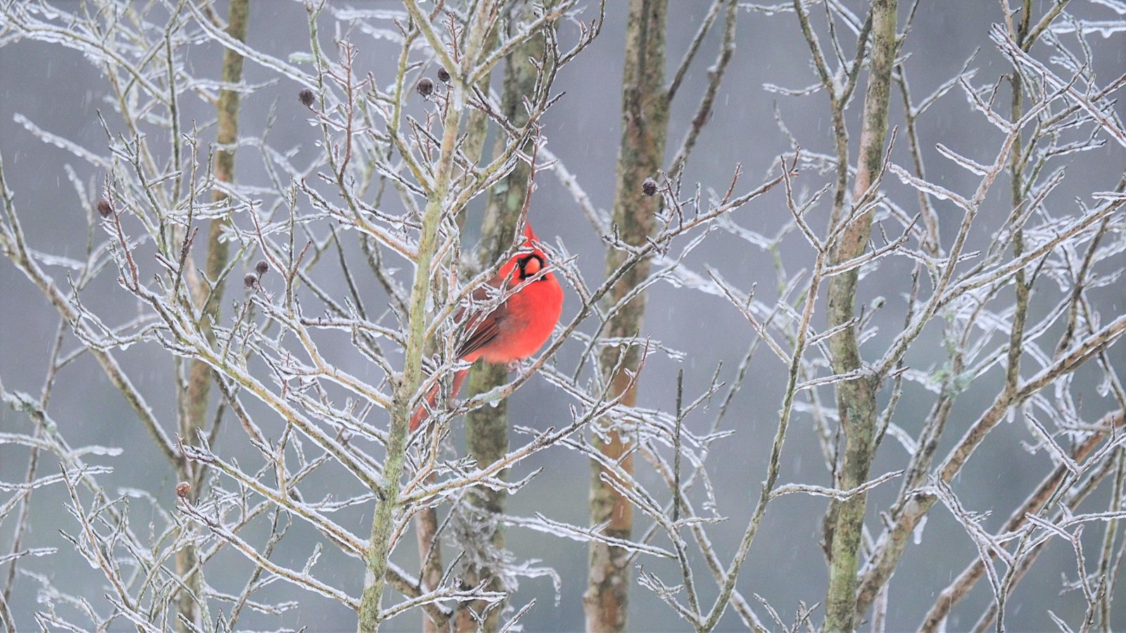 Male Cardinal in the ice.