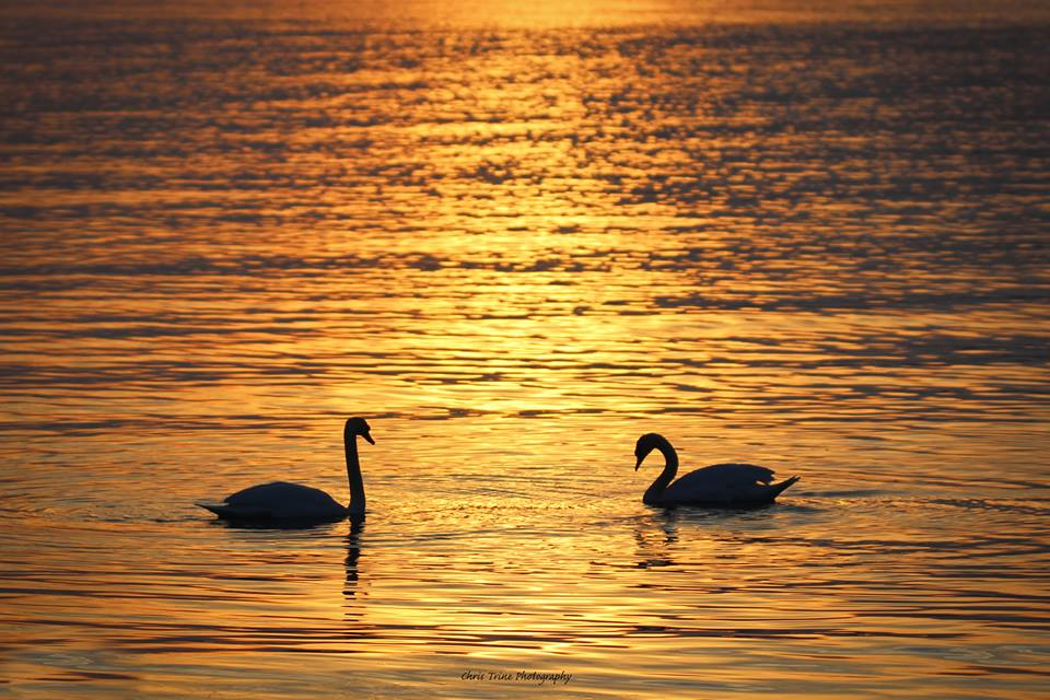 Silhouette Swans