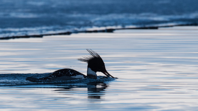 Blue Merganser