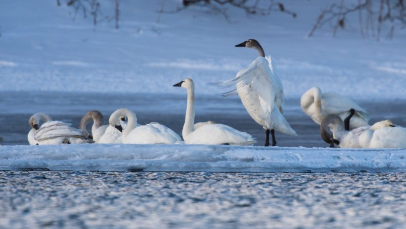 Tundra Swans at Twilight