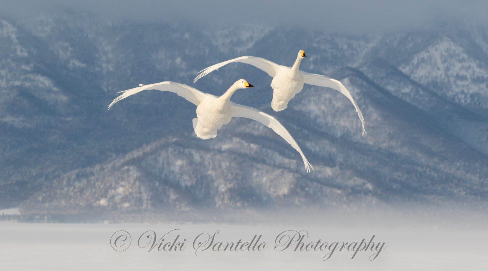 Whooper Swans in Flight
