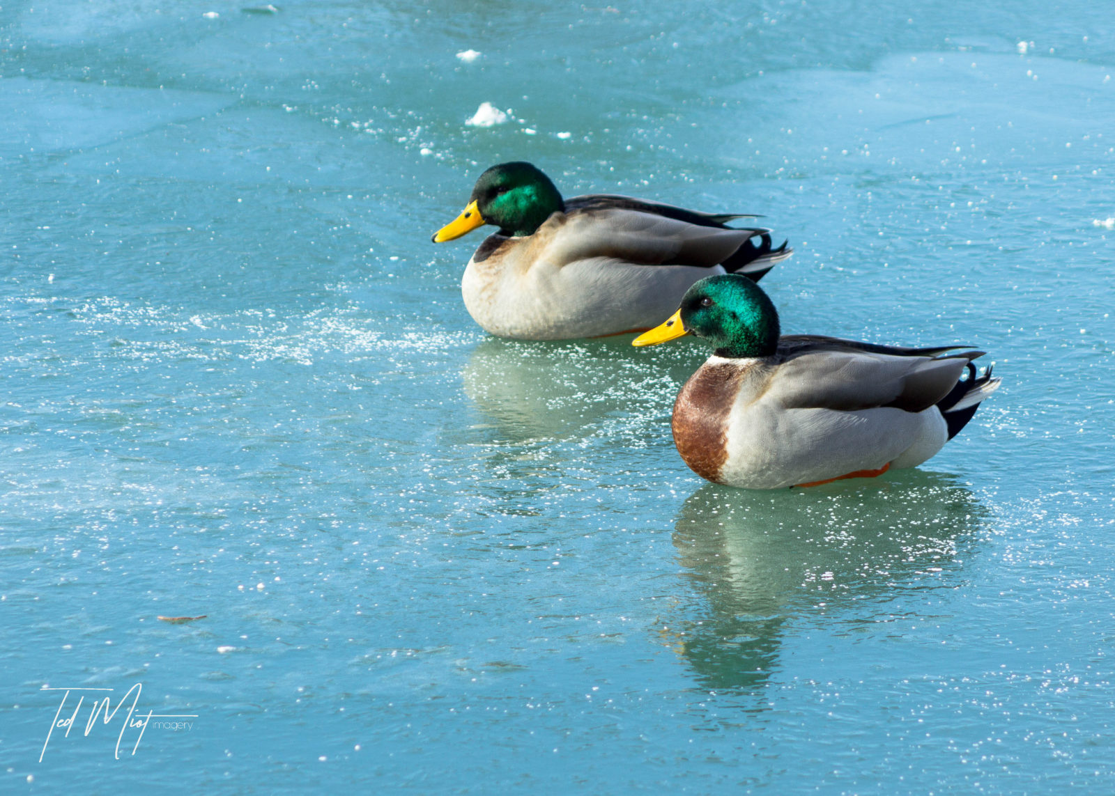 Ducks on Ice…the musical