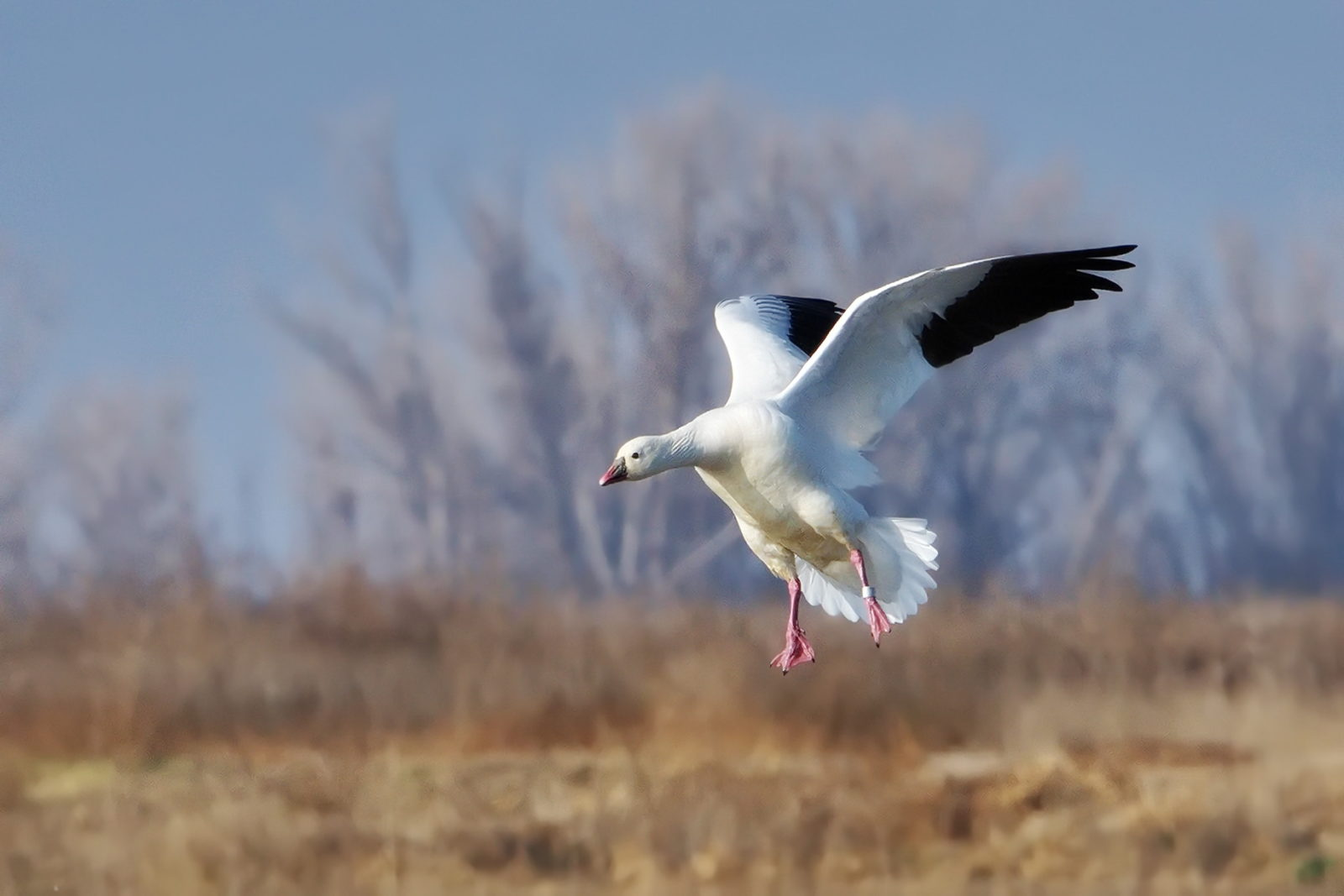 Banded Snow Goose