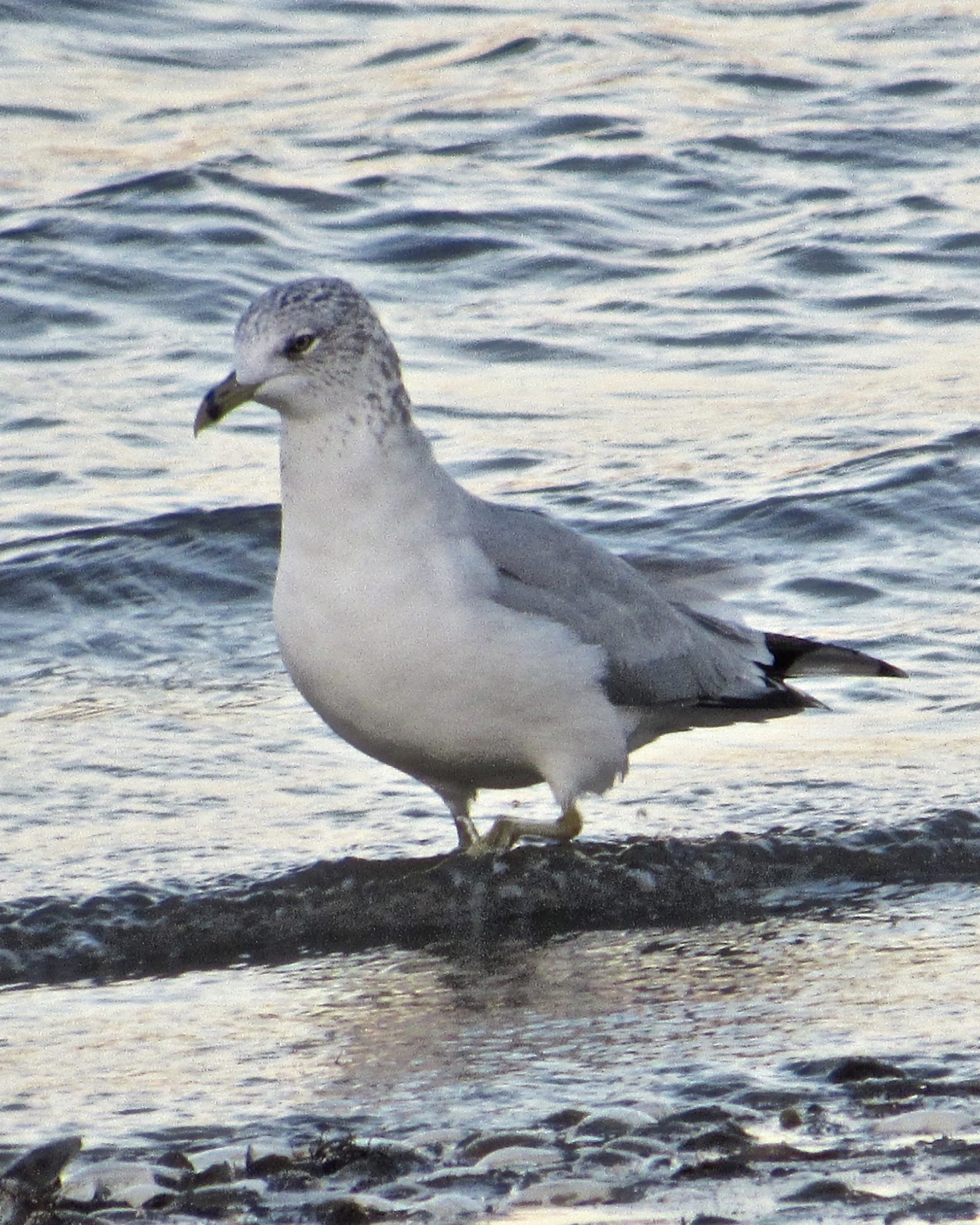 Sea-Gull Searching for Lunch