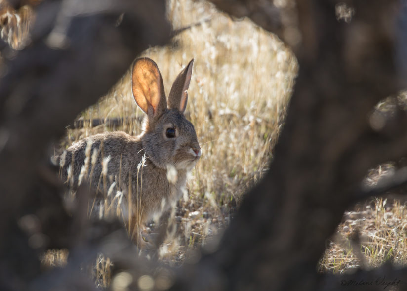 Cottontail rabbit and cholla cactus