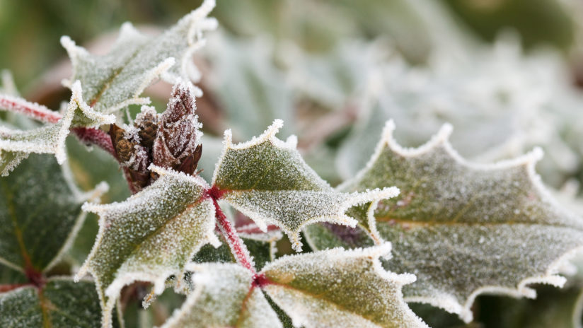 Frosty Oregon grape