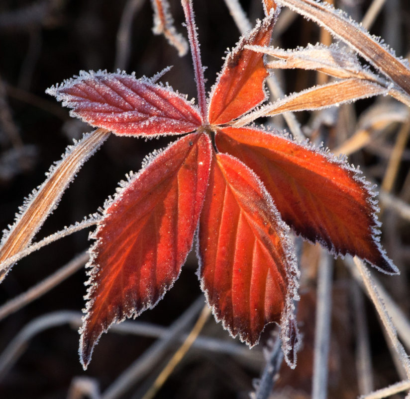 Ice Crystals on Red Leaves