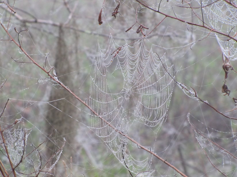 Spider web in the fog at the Circle B Bar Reserve