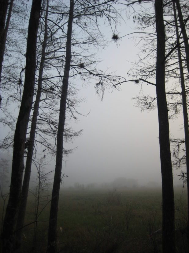 Trees Open to Fog