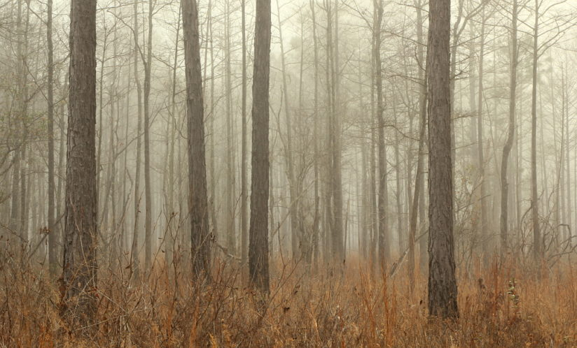 Foggy Winter Flatwoods