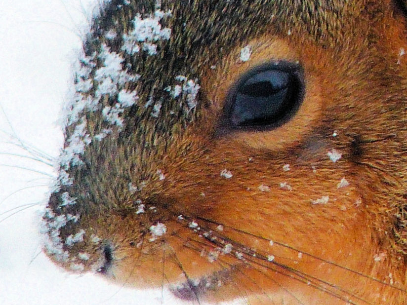 Squirrel in snowstorm