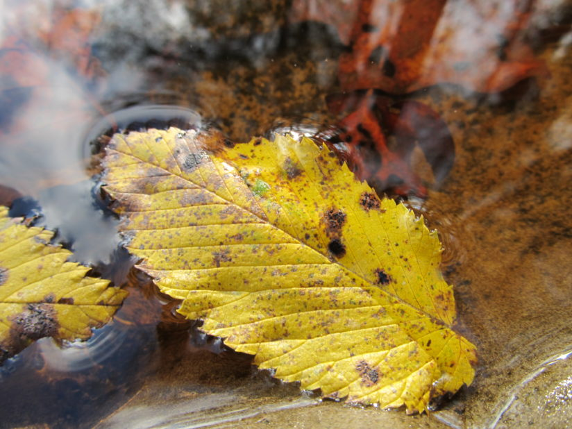 Fall Leaves in Water3