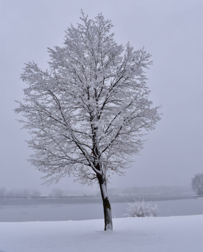 Lonely Snow Covered Tree