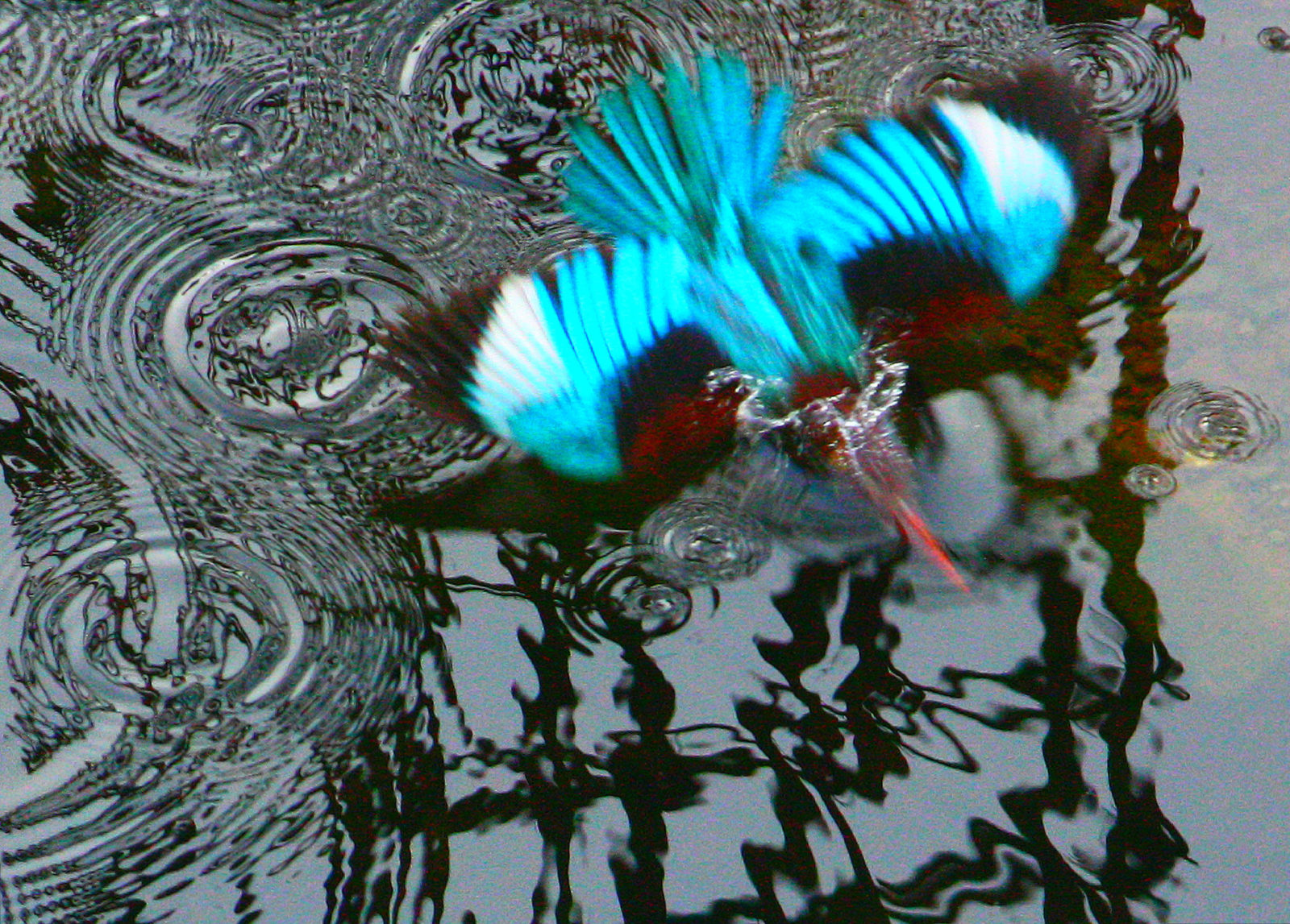 THE KINGFISHER DIVING IN TO WATER