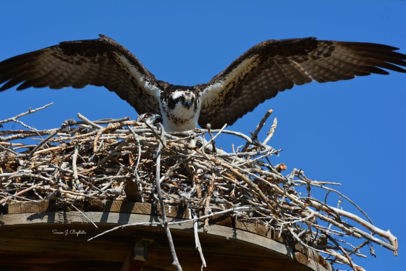 Landing Mother Osprey