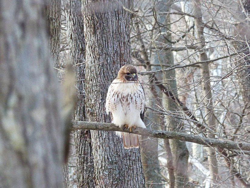 Hawk in the woods