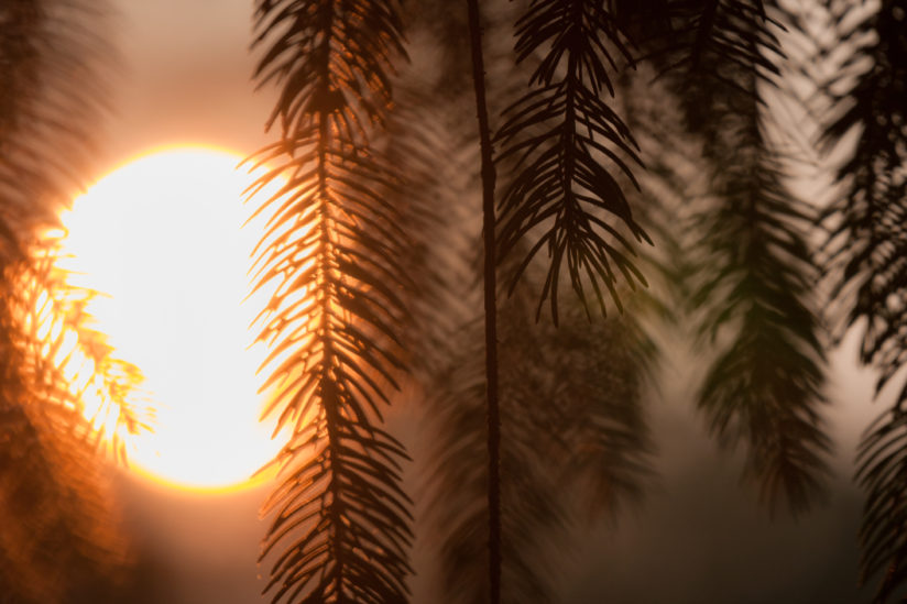 Sunset Through the Pines