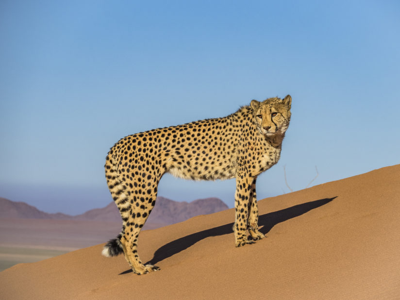Cheetah on Red Dune