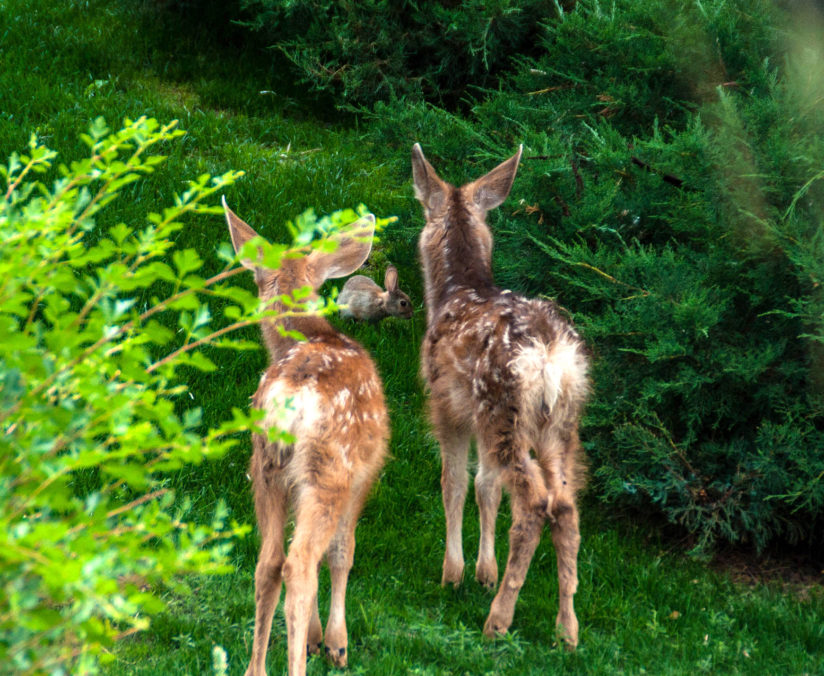Fawns and Rabbit