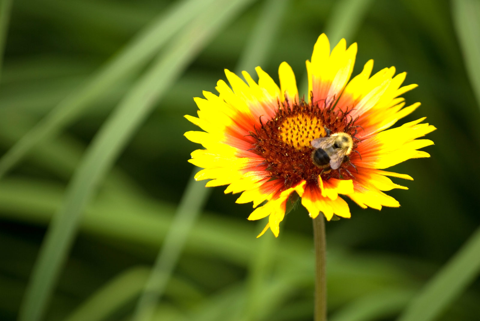 Bee on Blanket Flower