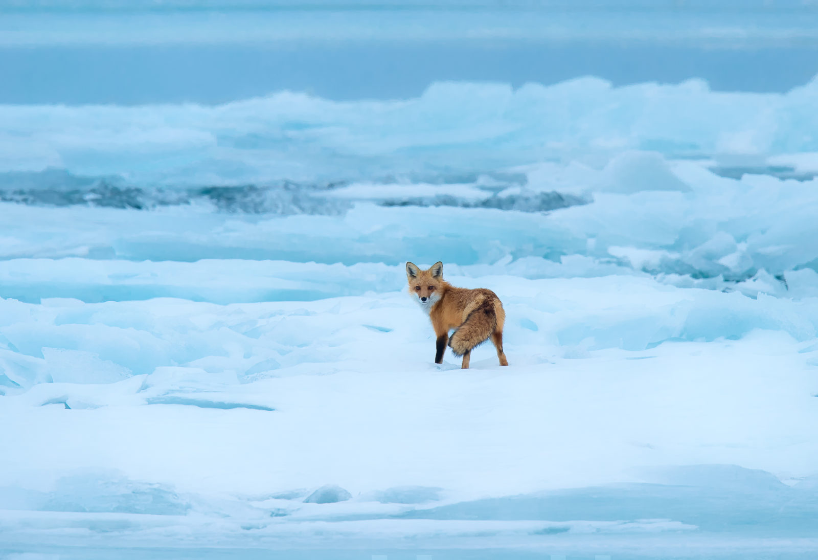 Red Fox on blue ice