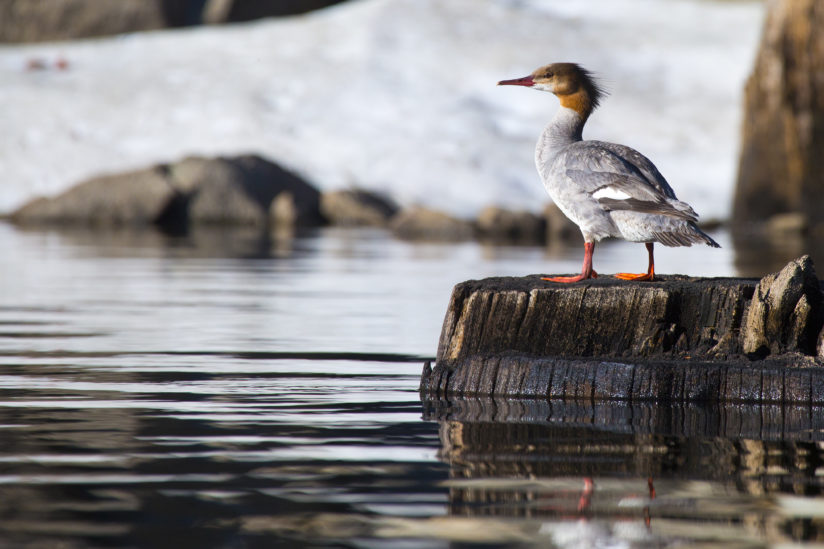 Caples Merganser