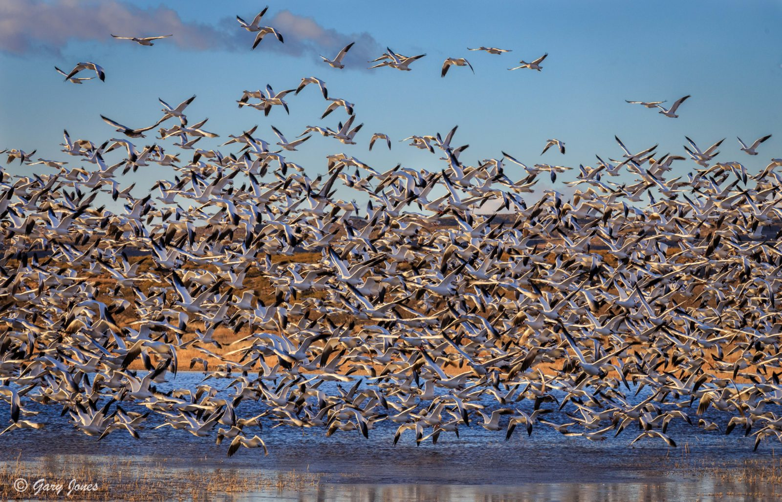 Blast Off – Snow Geese at Bosque