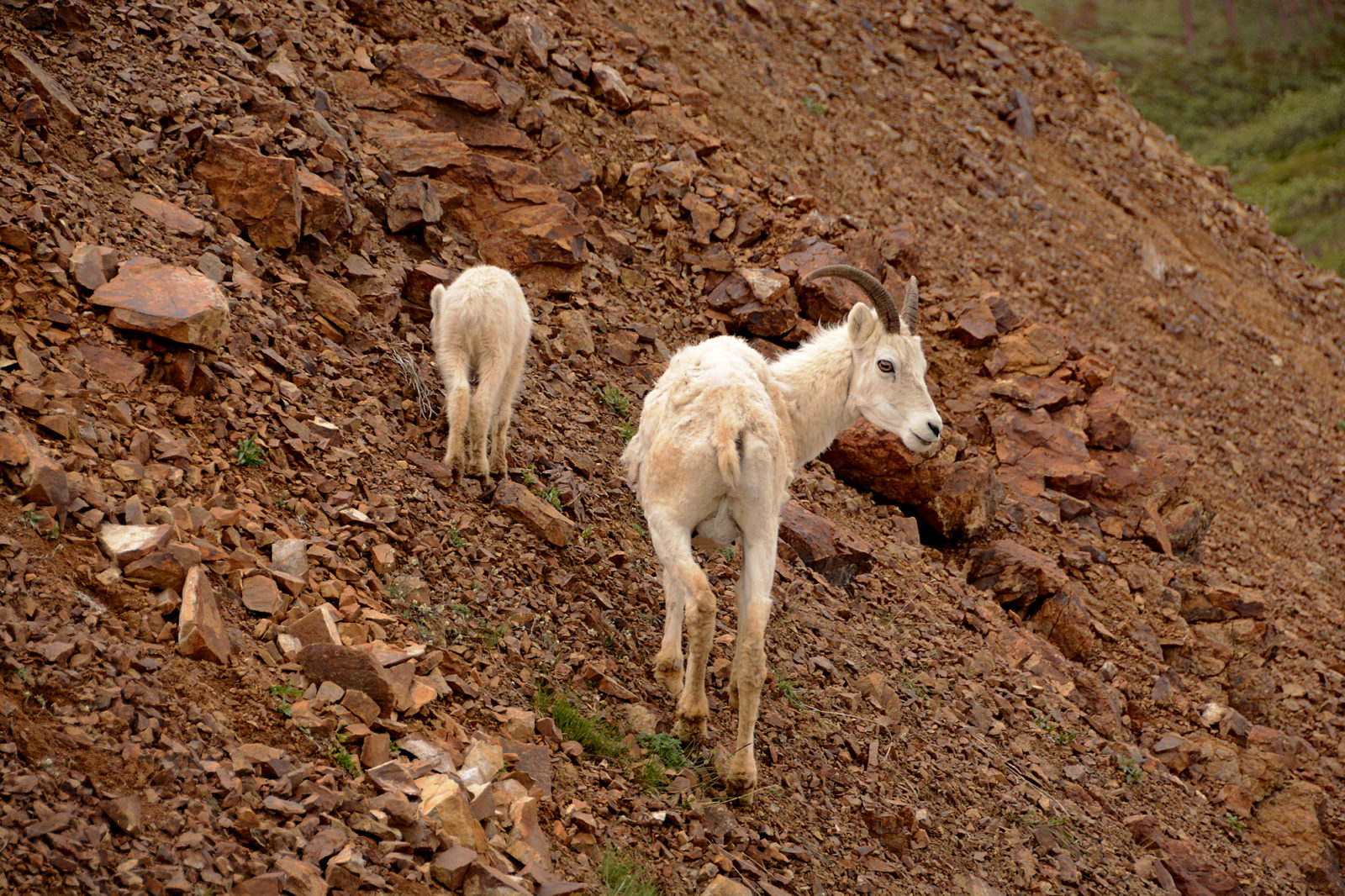 Dall Sheep – Alaska