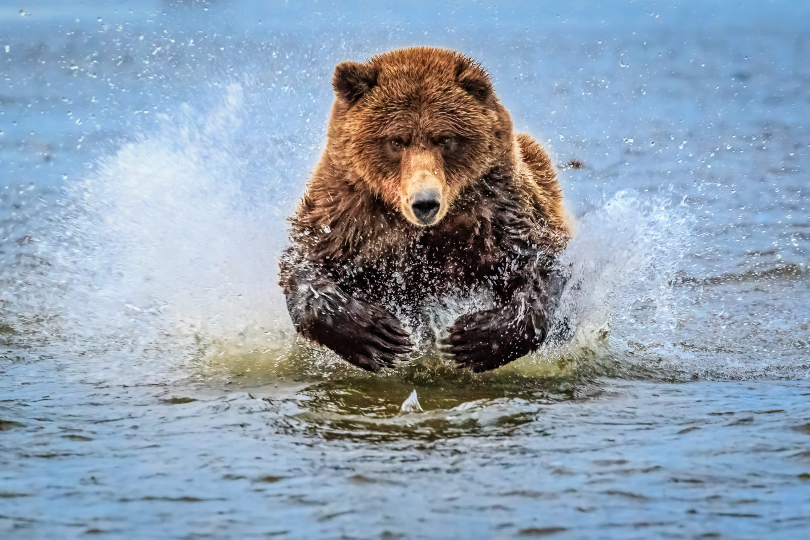 Bear chasing after breakfast