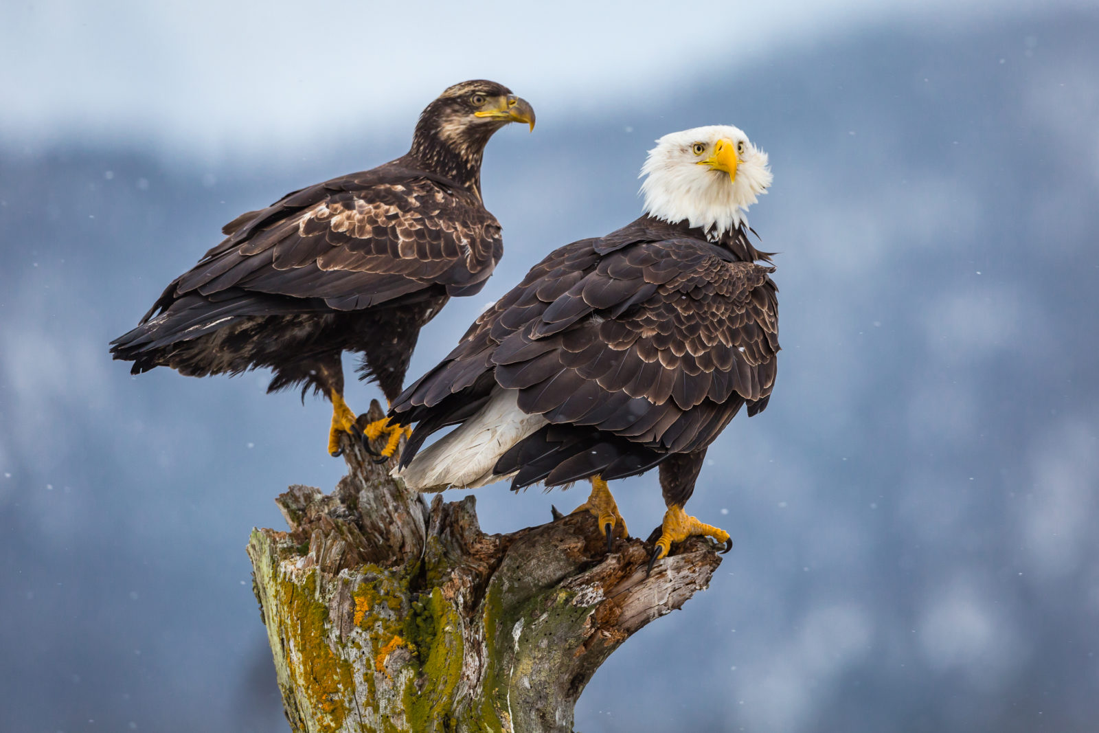 Adult Bald eagle with juvenile