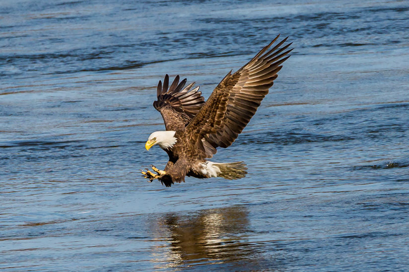 Eagle fishing