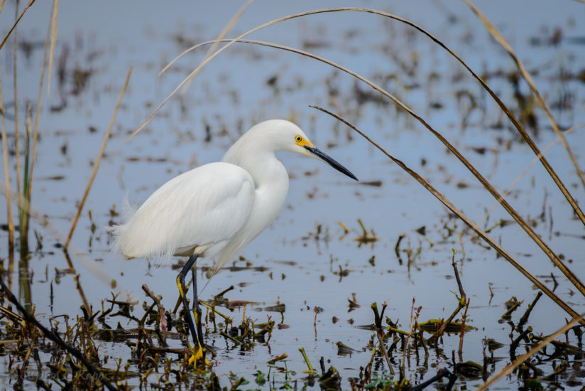 Snowy Egret Fishing for Dinner