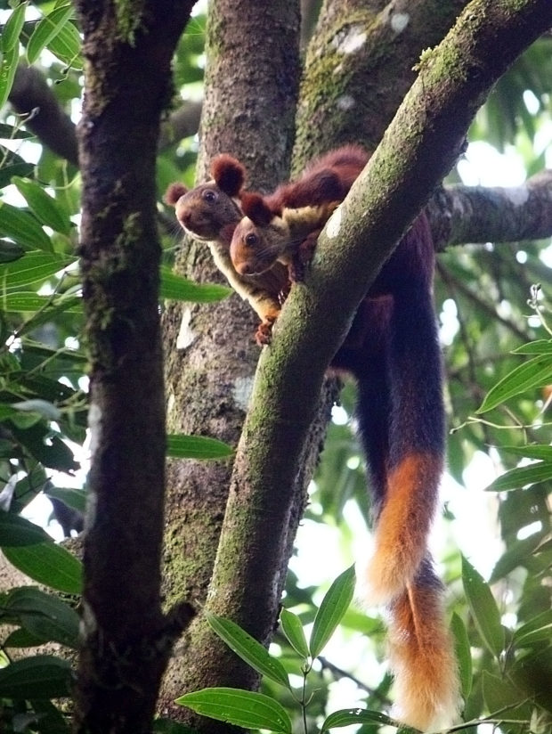 THE GIANT SQUIRRELS – INDIA