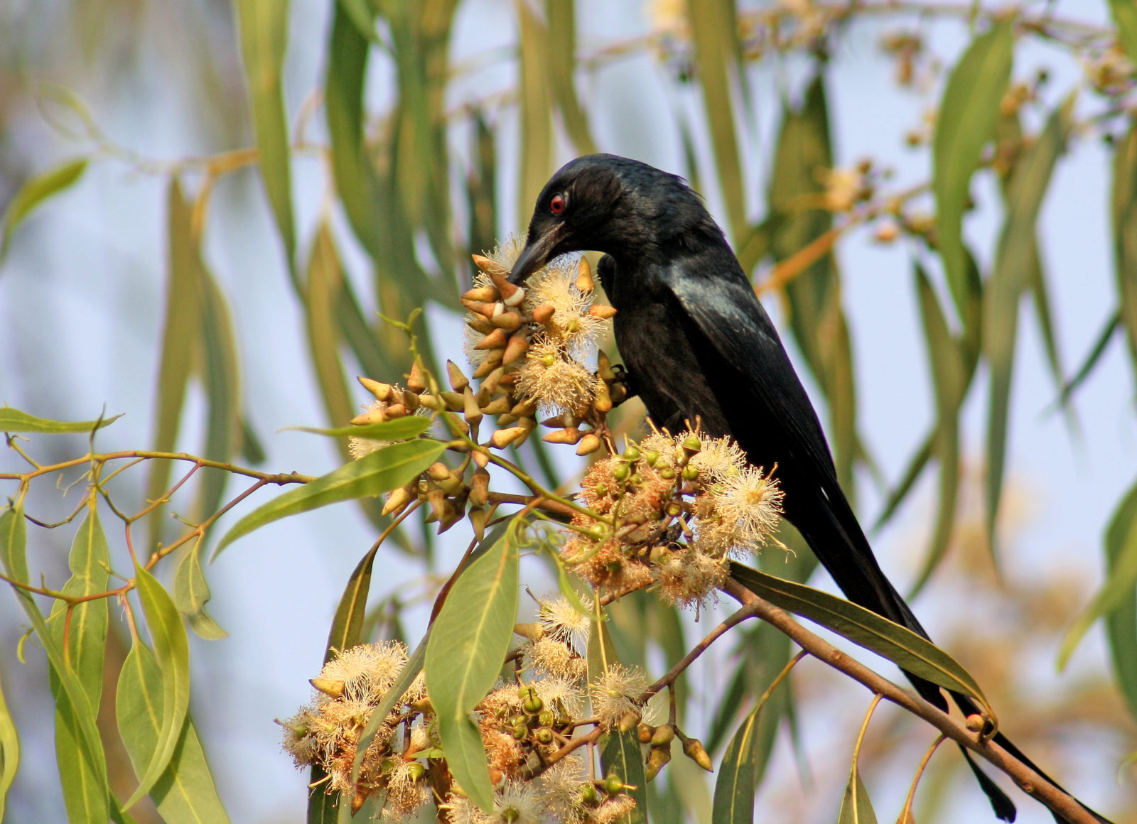 THE DRONGO ON EUCALYPTUS FLOWERS