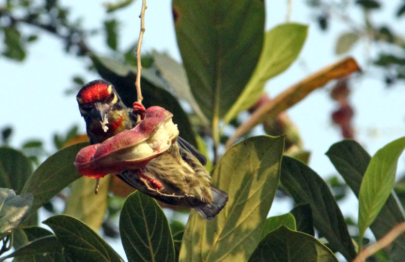 COPPERSMITH BARBET HANGING