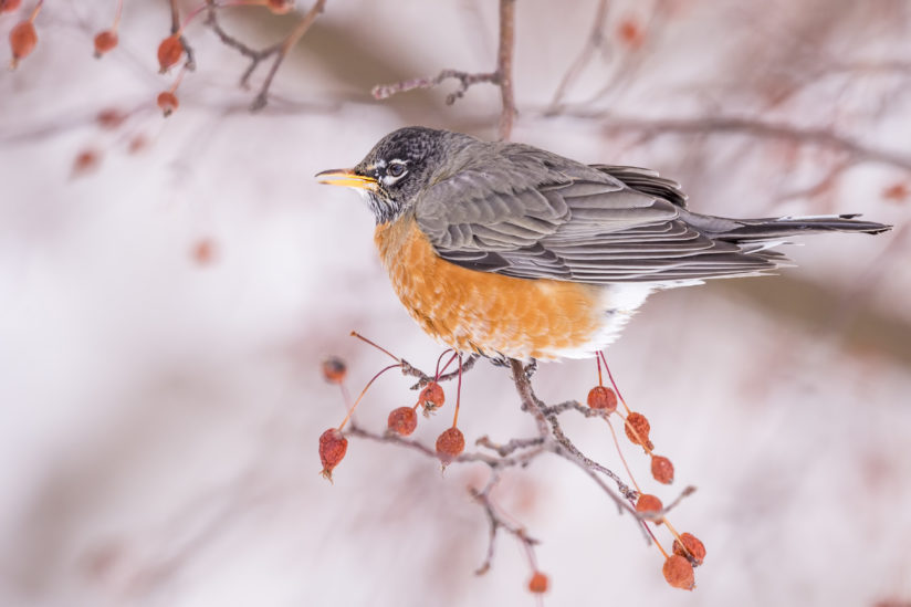 American robin eating berries in the snow