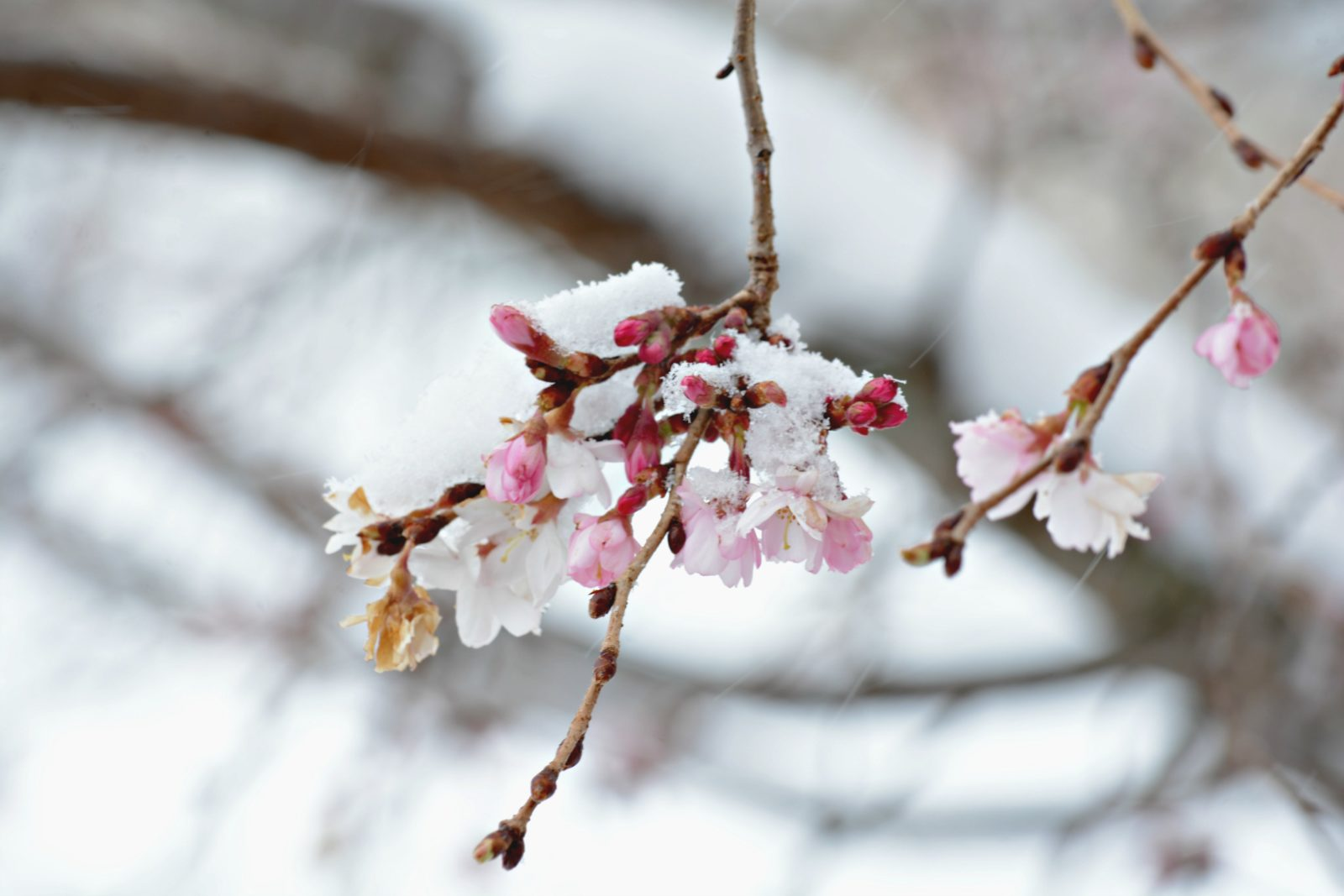 Blanketed Blossoms