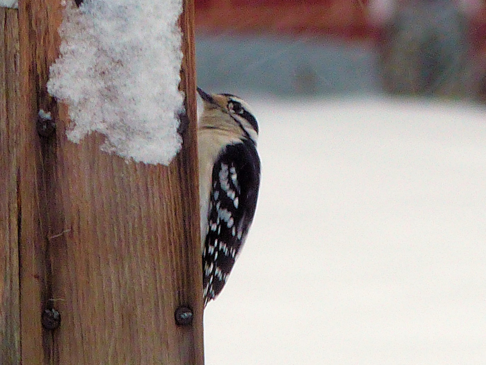 Downy Woodpecker in Spring Snow