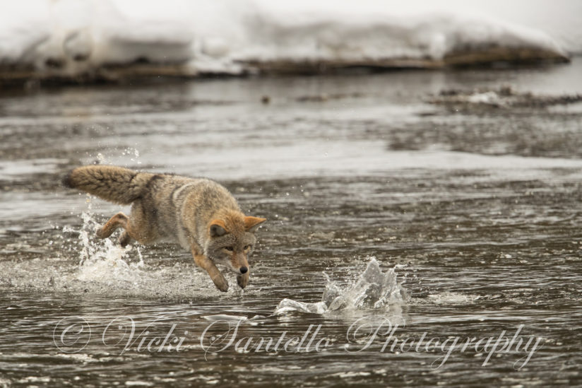 Fishing Coyote Style