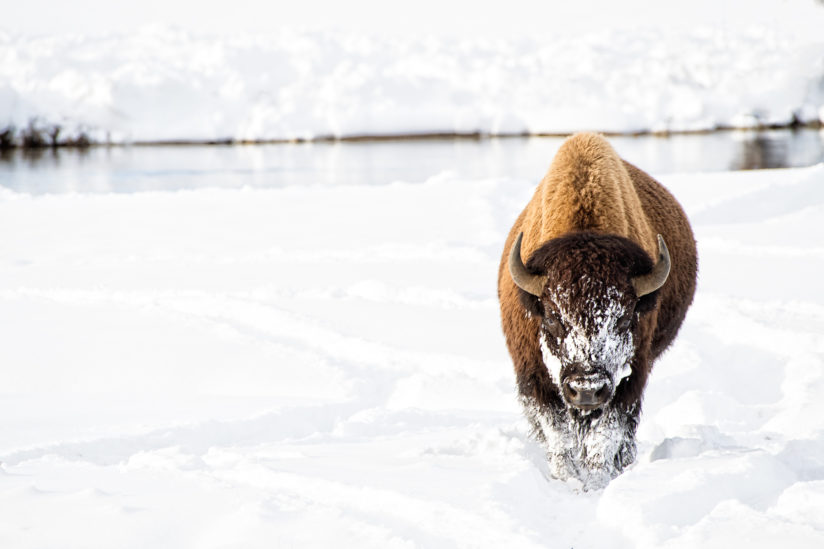 Lone Bison.